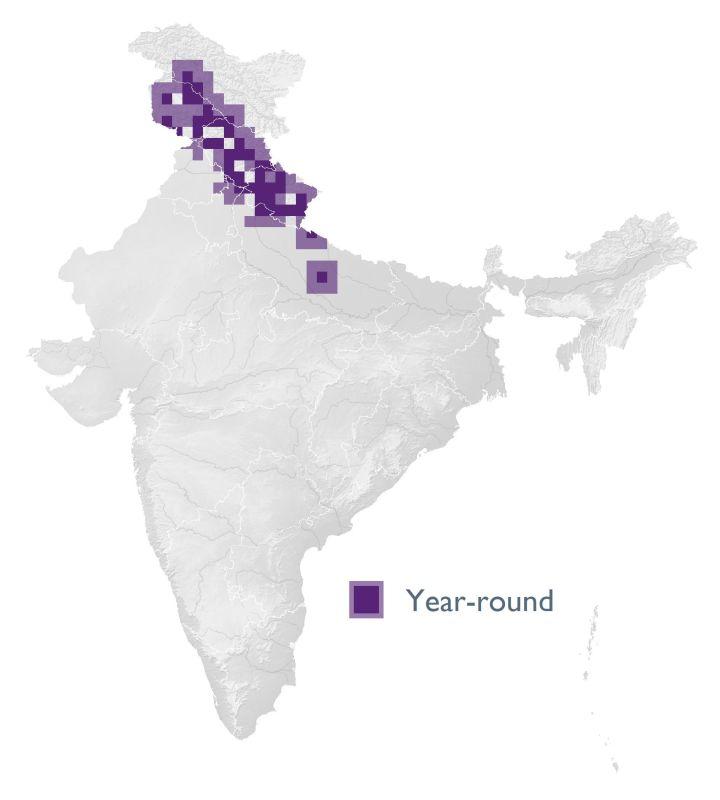 Himalayan Rubythroat