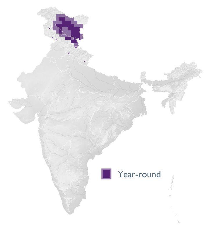 Kashmir Chiffchaff